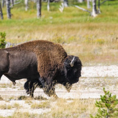 american bison hunting
