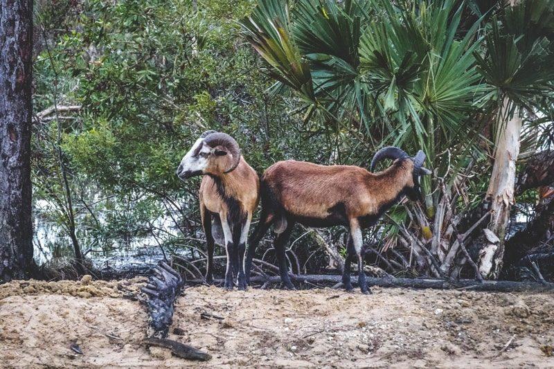 florida ram hunting